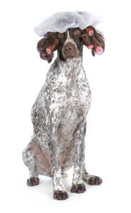 http://www.dreamstime.com/royalty-free-stock-photos-dog-grooming-german-shorthaired-pointer-beauty-salon-isolated-white-background-image36129908